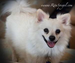 Small 14-lb. pomeranium dog